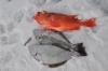 icefish-09-52